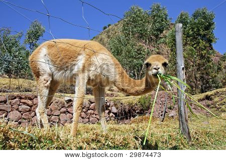 Vicuna eating grass