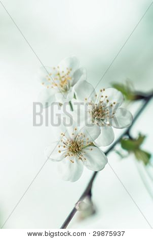 Spring cherry blossom with soft background