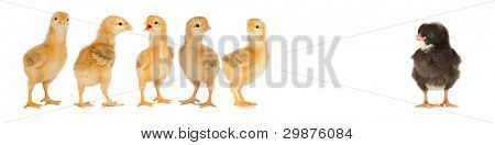 Five yellow chicks and one black chick isolated on a over white background
