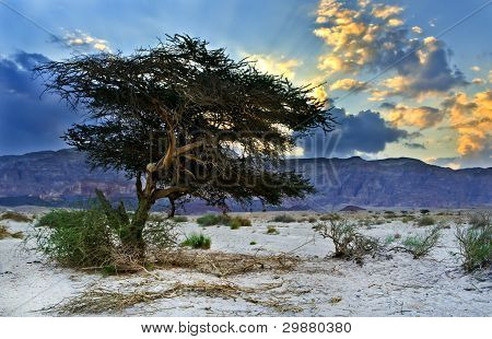 Lonely tree in desert of the Negev just before rain, Israel