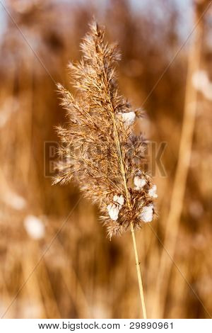 Dried Reed In The Winter