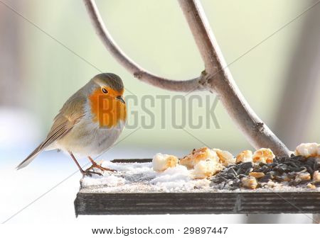The European Robin (Erithacus rubecula) on a full bird table.