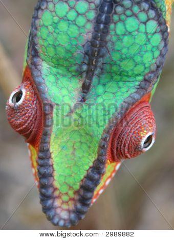 Panther Chameleon Male Nosy Mafana/Mitsio