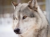 picture of white wolf  - large adult male wolf posing for portrait