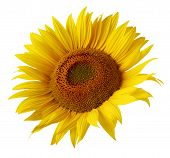 One Sunflower Flower Isolated On White Background. Ripe Sunflower With Yellow Petals, Top View. poster