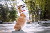 Happy Purebred Welsh Corgi Dog  It Stands On Two Legs, Fulfilling The Command Of The Obedience Of It poster