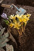 image of nouns  - yellow daisy with glove trowel and old hoe - JPG