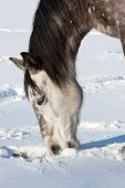 picture of shire horse  - Horse In Winter - JPG