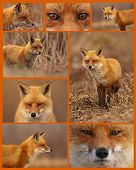 stock photo of cunning  - Assortment of eight images of a cunning Red Fox - JPG