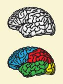 stock photo of frontal lobe  - Brain - JPG