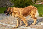 Leonberger. Dog Breed Leonberger. The Dog Walks In Nature. A Large Animal Walks Through The Woods. P poster