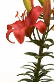 picture of asiatic lily  - Beautiful Asiatic Lily Bloom on a White Background - JPG