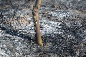 Grass Burning Damage On The Fruit Tree. Burning Grass Releases More Nitrogen Pollution Than Burning  poster