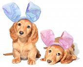 stock photo of bunny costume  - Easter bunny dachshunds puppies - JPG