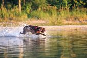 Hunting Brown Dog Sneaking On The Water Splashing And Making Waves. Sun Light Up The Muzzle. Thoroug poster