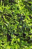 pic of eukaryote  - green algae texture  - JPG