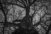 Bottom View Of Leafless Tree. Looking Up View Of Dead Tree. Silhouette Dead Tree On Dark Dramatic Sk poster