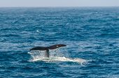 I Was Lucky To Be On Deck When We Spotted A Group Of Southern Right Whales. After Following Them For poster