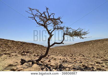 Lonely Tree near Dead Sea.