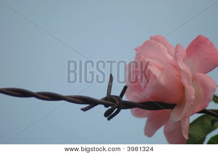 Rose And Barbed-Wire