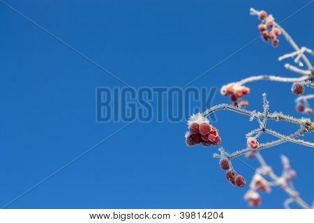 Frozen Viburnum Background