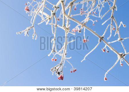 Frozen Viburnum Branches