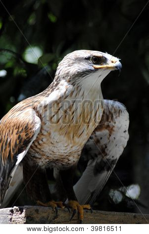 Ferruginous buzzard (Buteo regalis)