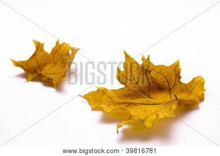 Two Withered Maple Leaves