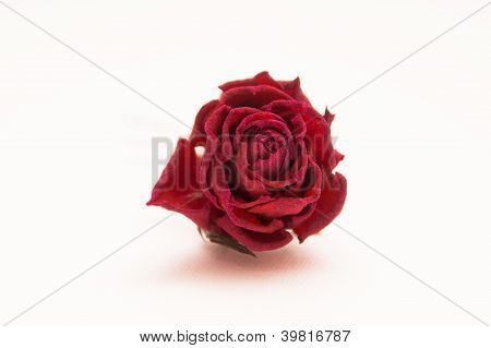Withered Rose Isolated On White Background