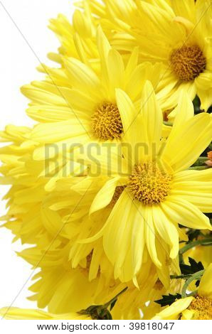 closeup of a bunch of yellow gerbera daisies on a white background