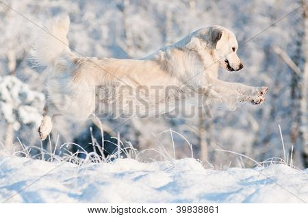 golden retriever dogs jumps in the snow