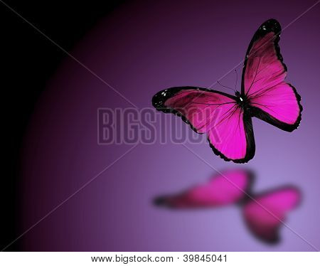 Morpho Violet Butterfly On Dark Violet Background