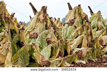 Tabaco de secagem no campo