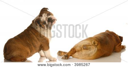 English Bulldog Looking At Another Bulldog