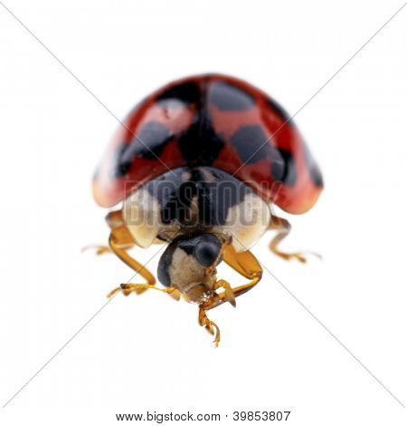 Extreme macro of a ladybird isolated on a white background