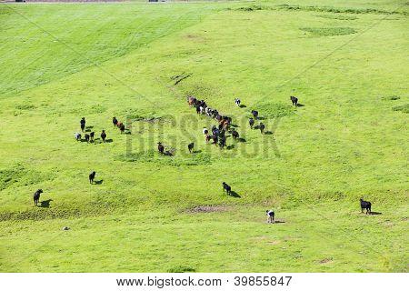 herd of cows, England