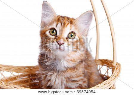 Small kitten in straw basket