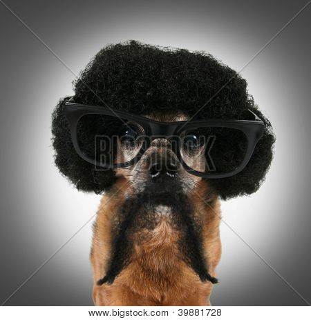 a chihuahua with an afro wig and glasses on