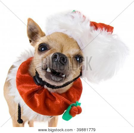 a tiny chihuahua dressed up in a santa outfit