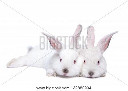 Two Baby Rabbit