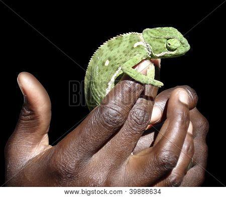 Segurando um camaleão verde