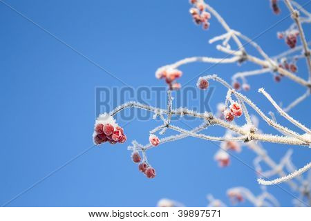 Viburnum Branch On Blue Sky Background