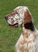 stock photo of english setter  - Portrait of an English Setter on the green grass - JPG