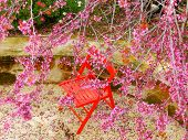 stock photo of judas  - Judas tree in full flower in Israe - JPG