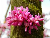 stock photo of judas tree  - Spring flowering of judas on tree trunk - JPG