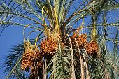 image of tozeur  - Close up of date fruits on the date palms in the largest oasis of Tozeur in Tunisia - JPG