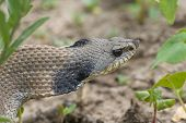 stock photo of harmless snakes  - Western Hognosed Snake hiding in the weeds - JPG