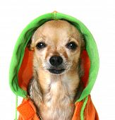 image of pimp  - chihuahua with some bling and a jacket - JPG