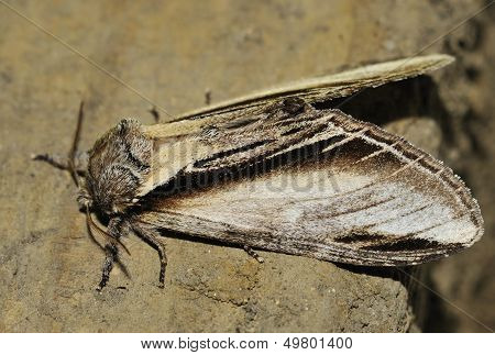 Swallow Prominent Moth