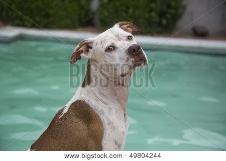 Brown and white dog posing by the pool